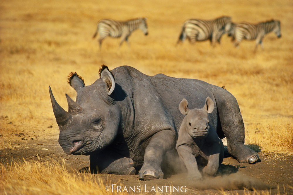 Black rhinoceros mother with calf, Ngorongoro Conservation Area, Tanzania
