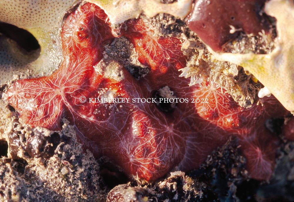 Clathria mima is a striking sponge