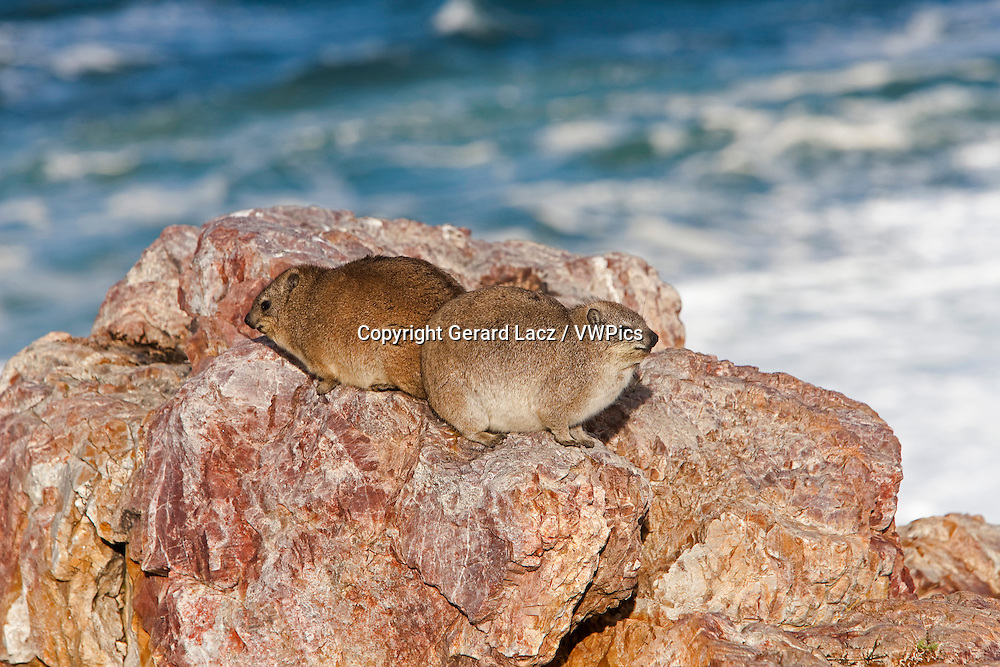 Rock Hyrax or Cape Hyrax, procavia capensis, Adults standing on Rocks, Hermanus in South Africa