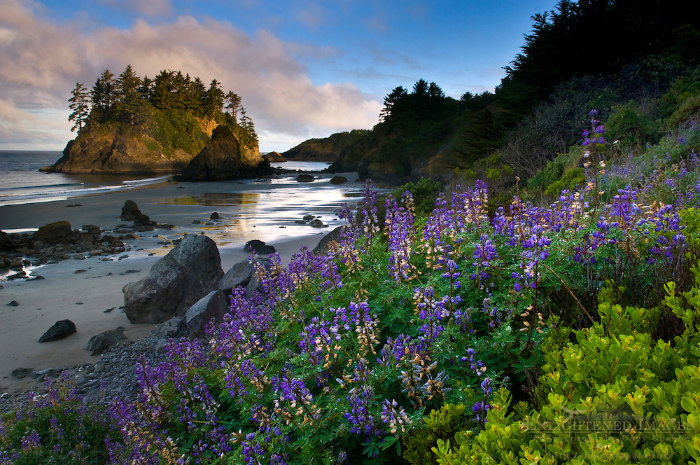 Morning Light on Pewetole Island and Lupine wildflowers in bloom at Trinidad State Beach, Humboldt County, California