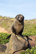 NZ Fur Seal pup, soaking up the sun in the Catlins, New Zealand