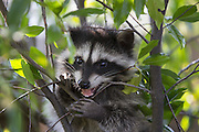 Raccoon <br /> Procyon lotor<br /> Three-month-old orphaned baby playing in garden of foster home <br /> WildCare, San Rafael, CA