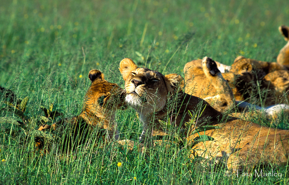 Female lion with her cub, Maasai Mara National Reserve, Kenya, Africa.