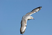 Israel, Coastal Plains, Slender-billed Gull, (Larus genei) hovering over the fish ponds in search for fish