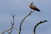 Osprey (Pandion haliaetus) on the shores of Poole Harbour. Dorset, UK.