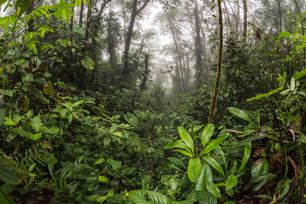 View of cloud forest in the Chocó region of Northwestern Ecuador. April.