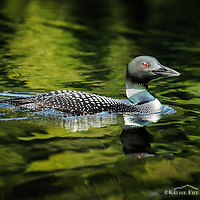 Common Loon post card. <br />