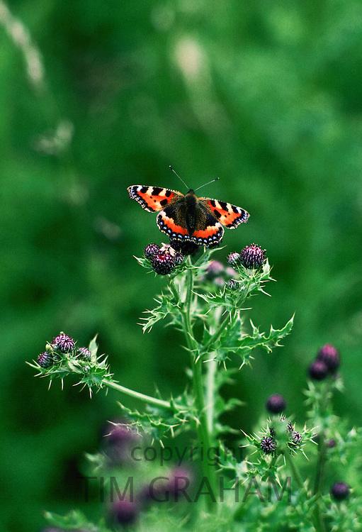 Tortoiseshell Butterfly, England, United Kingdom.