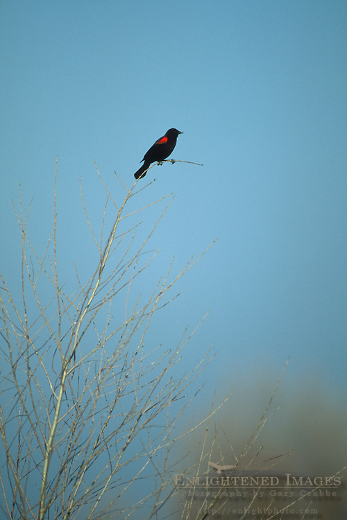 Red-winged Blackbird, on barren tree branch, San Luis National Wildlife Refuge, near Los Banos, Merced County. California