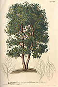 Coloured Copperplate engraving of a Laurus (bay laurel) tree from hortus nitidissimus by Christoph Jakob Trew (Nuremberg 1750-1792)