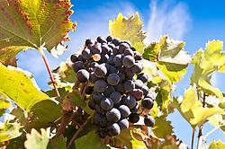 Dec. 04, 2012 - Grapes on the vine (Credit Image: © Image Source/ZUMAPRESS.com)