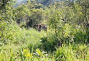 Wild elephant Hurulu Eco Park biosphere reserve, Habarana, Anuradhapura District, Sri Lanka, Asia
