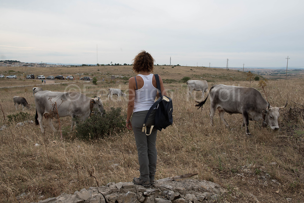 Feast of Transhumance with podolica cows in the park of rupestrian churches on the other side of the Matera canyon. Walking with cows