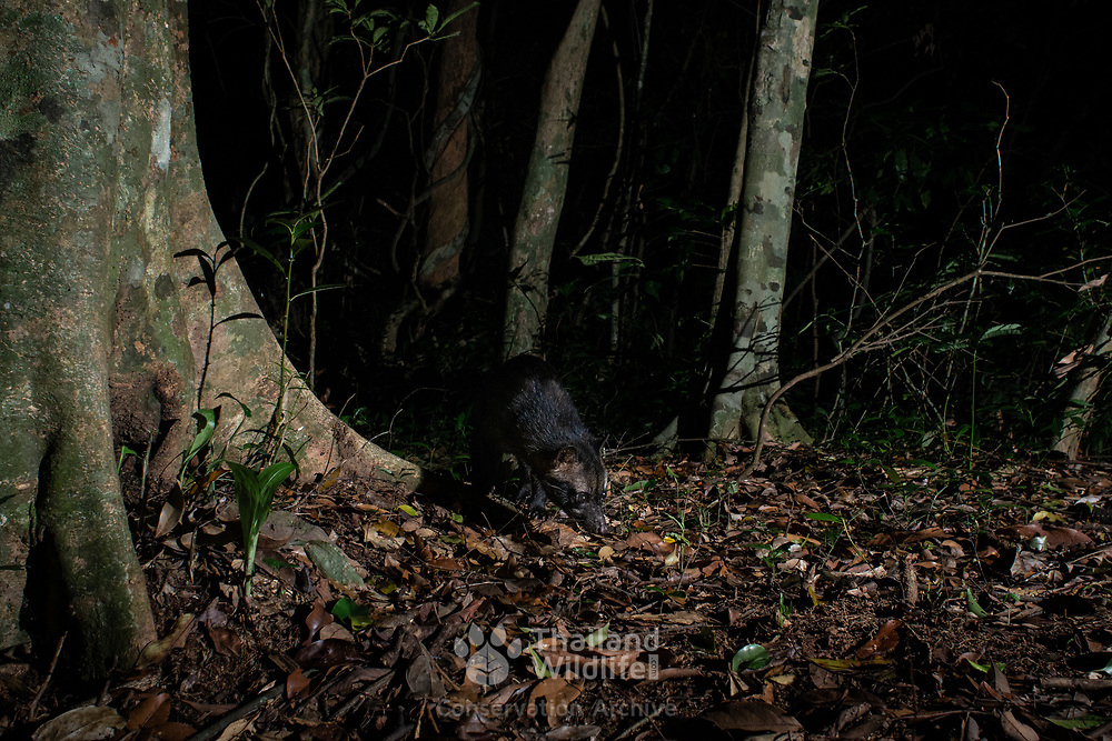 The Asian palm civet (Paradoxurus hermaphroditus) is a small viverrid native to South and Southeast Asia. Since 2008, it is IUCN Red Listed as Least Concern as it is tolerant of a broad range of habitats.