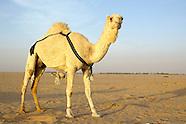 Al Walfra Kuwait, Camel Farm