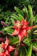 Bromeliad, Lyon Arboreteum, Manoa Valley, Honolulu, Oahu, Hawaii