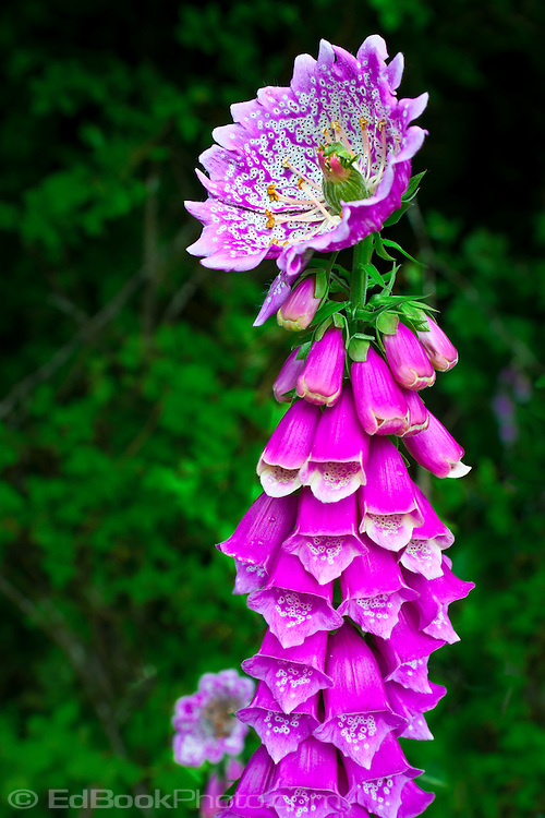 "Foxglove (Digitalis purpurea) anomaly peloric monstrous terminal flower mutation caused by a double recessive gene at a locus called ""centroradialis""."