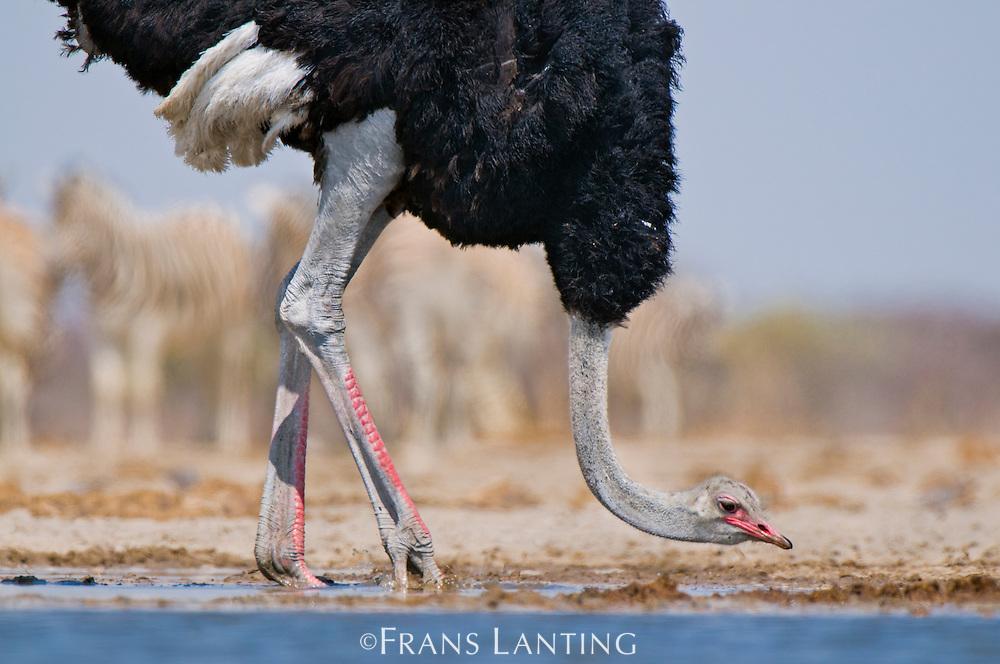 Ostrich male drinking at waterhole, Struthio camelus, Etosha National Park, Namibia