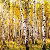 sun shines through fall leaves in aspen grove