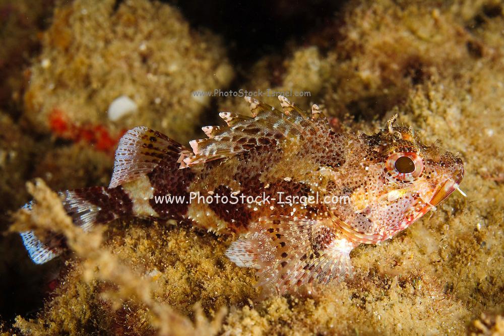 Israel, Mediterranean sea, - Underwater photograph of a Scorpaena scrofa, Red scorpionfish