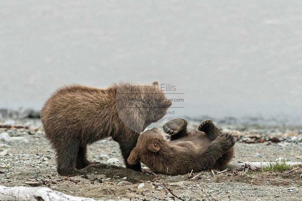 Brown bear spring cubs play fight on the beach along the Cook Inlet at the McNeil River State Game Sanctuary on the Kenai Peninsula, Alaska. The remote site is accessed only with a special permit and is the world's largest seasonal population of grizzly bears in their natural environment.