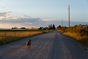 Sugar walking at sunset on Farm Rd. in Polson