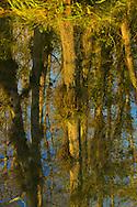 Baldcypress (Taxodium distichum) swamp reflection, Big Cypress National Preserve, Florida