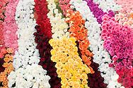 Various Color Roses on Rose Parade Float, Pasadena, California