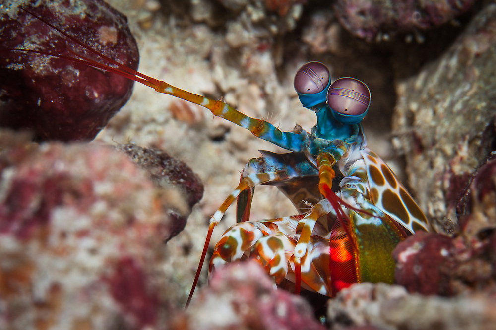 THAILAND. Similans Islands, Phangna Province. March 10th, 2013. A Peacock Mantis Shrimp (sp. odontodactylus scyllarus) gaurding its den in the coral substrate.  These creatures are related to other crustaceans such as crabs, shrimp and lobsters, in addition to having one of the most developed eyes in all of the animal kingdom, which allows them to see in 3-D and perceive objects at a speed much faster than humans.