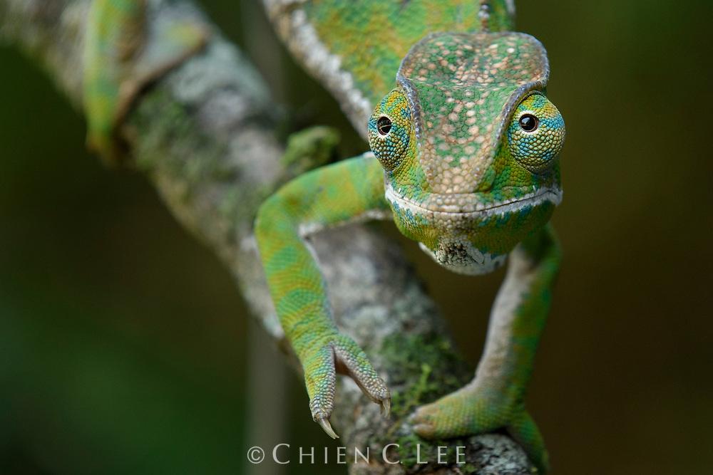 Two-banded Chameleon (Furcifer balteatus), female.