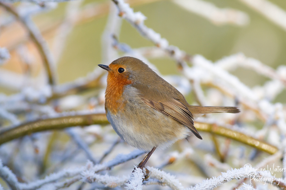 Robin - Erithacus rubecula - Cheshire, December