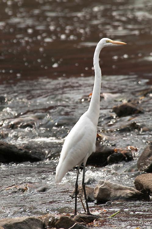 White heron huntin
