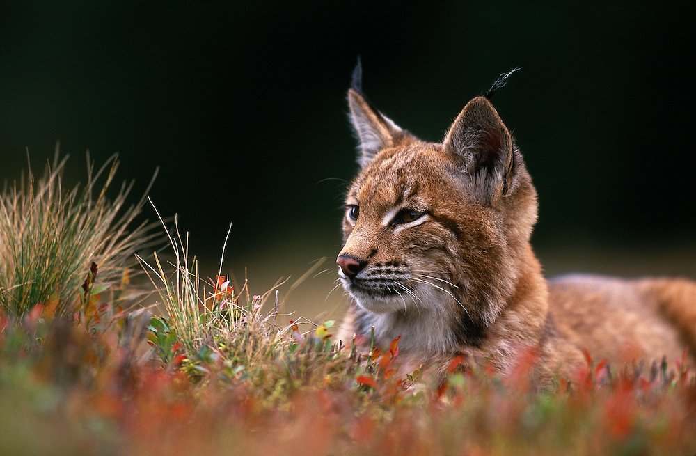 Young European lynx waking up amongst bilberry plants