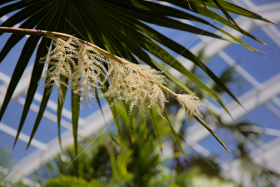 Palm Tree in bloom, Florida