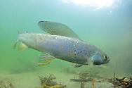 Arctic Grayling<br /> <br /> Paul Vecsei/Engbretson Underwater Photography