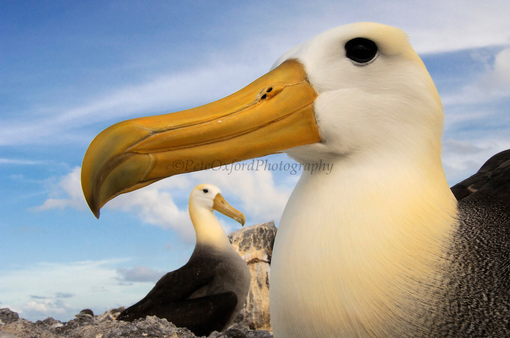 Waved Albatross (Phoebastria irrorata)<br /> Punta Cevallos, Espa&ntilde;ola Island, GALAPAGOS ISLANDS<br /> ECUADOR.  South America<br /> ENDEMIC TO GALAPAGOS. <br /> CRITICALLY ENDANGERED<br /> However a few pairs nest on Isla de la Plata near the Ecuadorian mainland. +-12,000 pairs breed on the Island of Espa&ntilde;ola in Galapagos. They only come ashore between April and December to breed, otherwise they spend their entire life at sea. Once an albatross chick fledges and goes to sea it will remain there until it is 4 years old before returning to land to breed for the first time. Albatross mate for life and live about 40 years. They form part of the family of tube-nosed birds.
