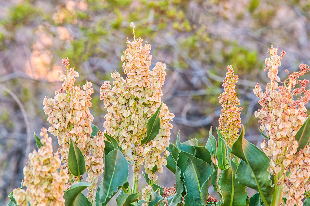 Non-descriptive flowers are uncommon in nature. Green, barely-pink, or just brown, they stand out in the Valley of Fire in Southern Nevada. This plant contains a remarkable amount of tannins and has been used in making leather products.