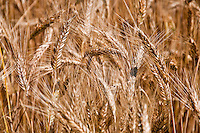 Close-up of ripening grain in a field.
