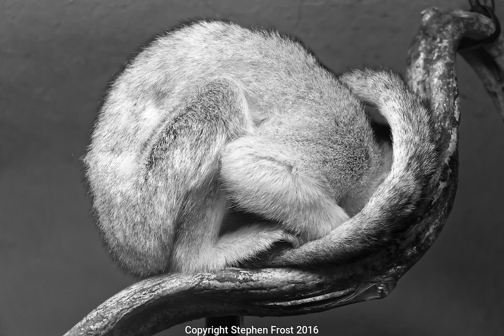 A common squirrel monkey curled up on a branch.