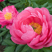 PAEONIA 'CYTHEREA'