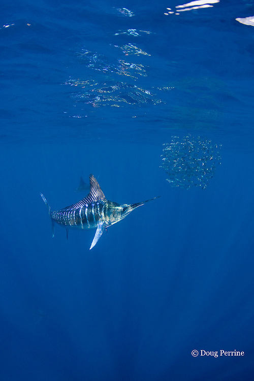 striped marlin, Kajikia audax (formerly Tetrapturus audax ), feeding on baitball of sardines or pilchards, Sardinops sagax, off Baja California, Mexico ( Eastern Pacific Ocean ) #1 in sequence of 5 images