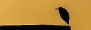 Panorama av Hegre i silhuett mot kveldssol   Panoramic Gray Heron silhouette.