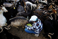 Christo Parkos tends a herd of goats in Prospera, Ikaria. According to local superstition, it's bad luck to ask how many goats are in the herd..At 7 a.m. every morning, Parkos drives out to his field and milks his goats.