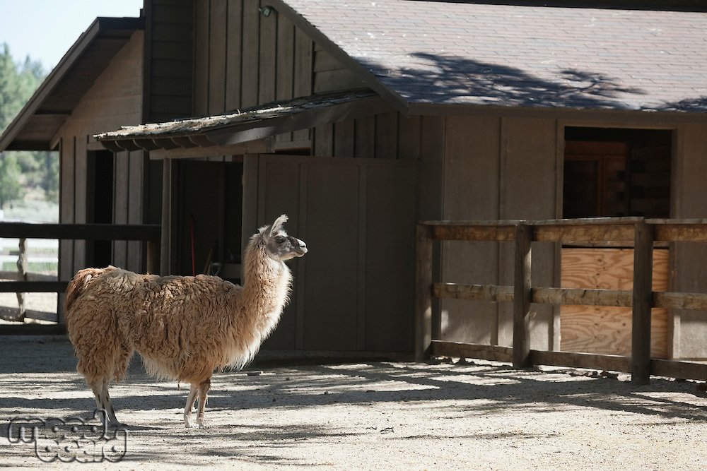 Llama standing in front of barn