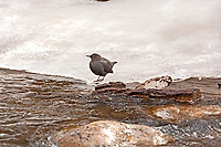 An American Dipper stands and watches the river from a snow bank.