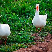 Geese hiking through the grasses - Riparian Preserve, Gilbert, AZ