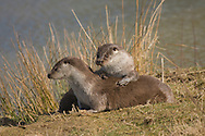 European Otter (Lutra lutra) adult male and female, playing on riverbank, England (captive)