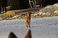 Kate, a German Shepherd, and Kali, a long-haired German shepherd playing with Zola, a golden retriever and Spencer, a basset-beagle mix on thh shores of Lake Michigan