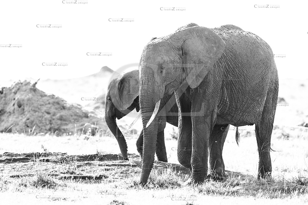 Elephants black and White at masai mara National Park, Conservancy, Kenya,Africa<br />