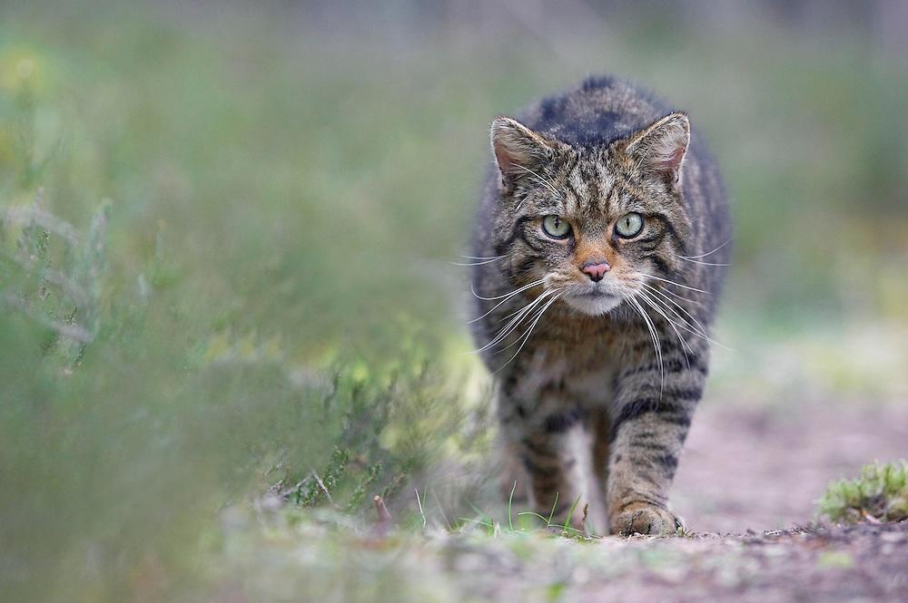 Scottish wildcat (Felis sylvestris) stalking along track in pine forest, Cairngorms National Park, Scotland.